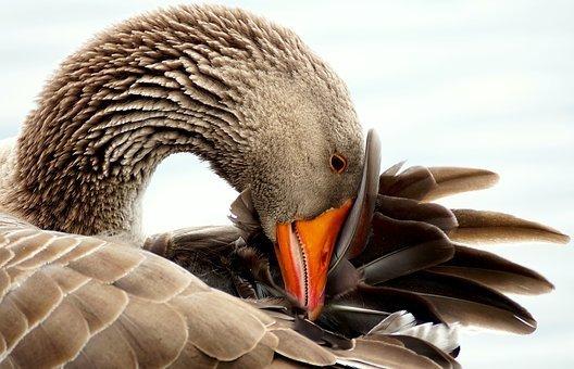 Ducky&Goose's icon